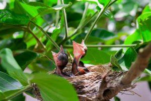 chicks in nest secondary pest poisoning