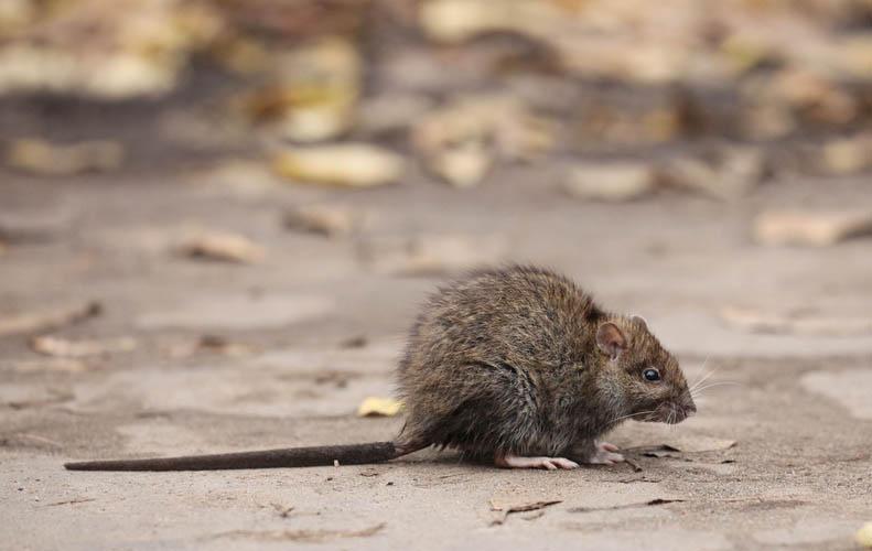 rat pest control in kent
